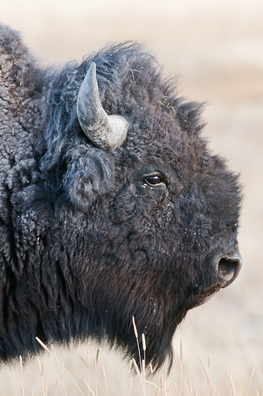 Bison Portrait, Yellowstone National Park