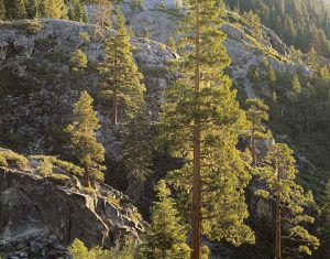 Backlit Pines, Sunrise, Emerald Bay.jpg