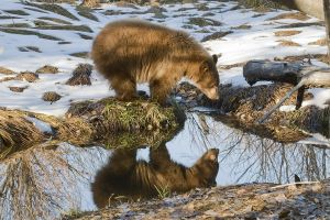 Reflected bear.jpg
